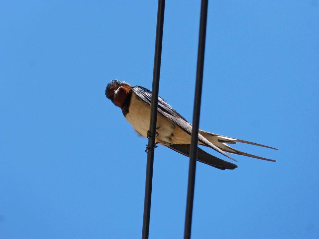 control aves urbanas golondrina