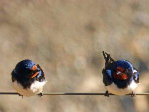 golondrinas control aves urbanas massim