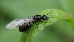 eliminar plaga hormigas aladas