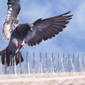 Control de aves de palomas Massim