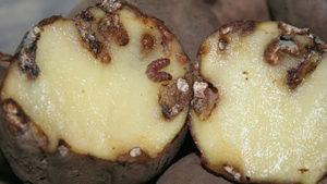 plaga patata Massim Valladolid