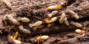 eliminar termitas madera MASSIM Valladolid