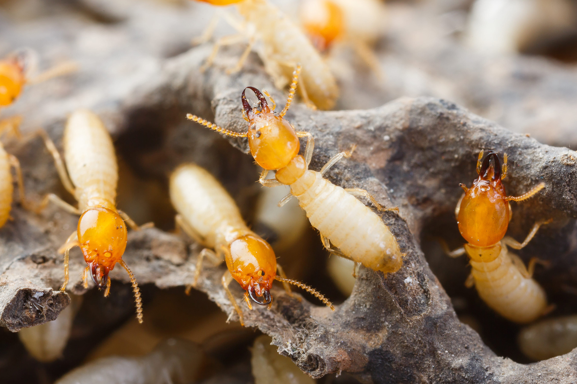 inspeccion eliminación termitas MASSIM Valladolid