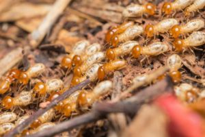 eliminar colonias termitas massim valladolid