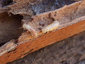 detectar termitas casa MASSIM