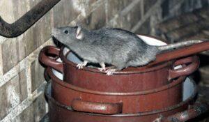 control plagas roedores Valladolid detectar en casas